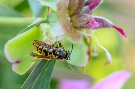 Wasp vespula germanica gathers nectar from a deflorate peony flower Stock Photo