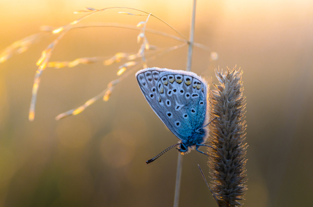 Butterfly azure sits on a dry grass amid the setting sun Stok Fotoğraf
