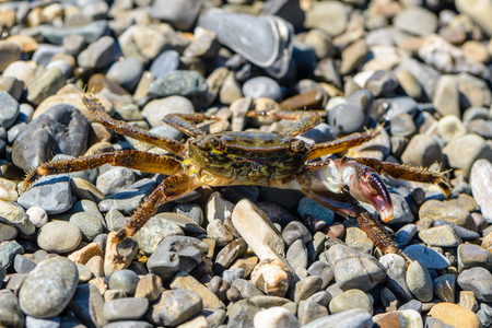 Small crab with one claw crawling on the shingle sea beach