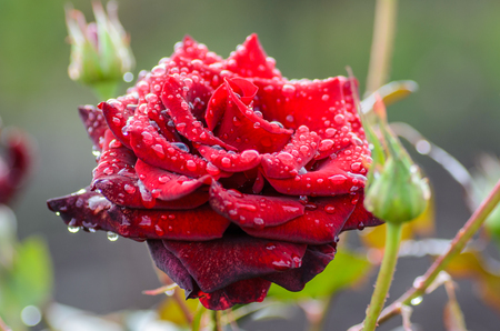 Bud dark red rose with drops after rain Stock Photo