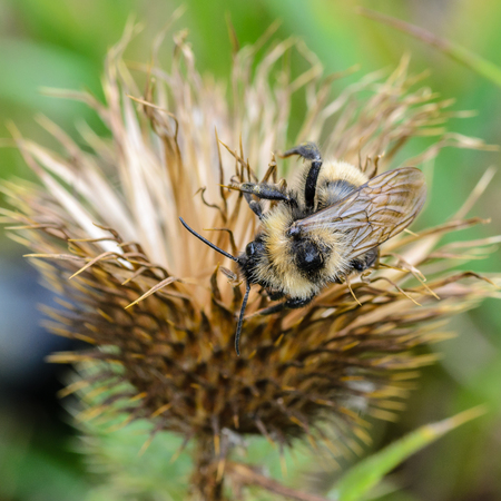 Bumblebee gets a night of dried flower of sow-thistle Stock fotó