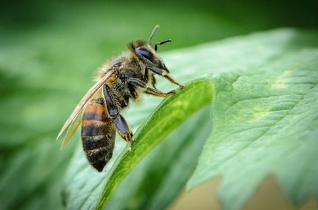Bee got a bed on a green leaf
