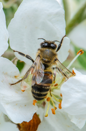 A bee collects nectar from a flower of apple