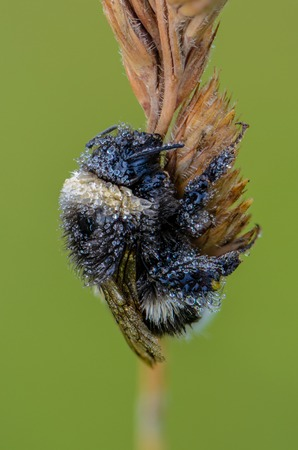 Portrait of a field Bumblebee closeup, which is covered with small drops of morning dew