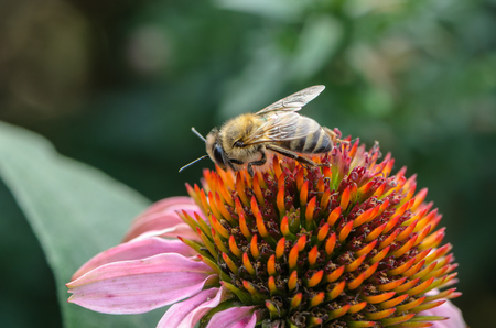 Honey bee pollinates the flower echinacea with collecting nectar