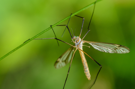 Mosquito of tipulidae with green eyes hanging on four paws on the grass stalk