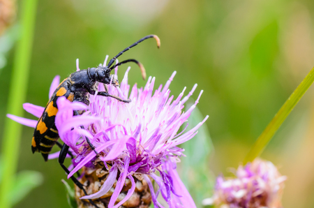 Beetle mustache crawls on a pink flower bud with thin petals Stock Photo