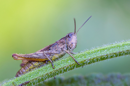 Grasshopper sits on a grass stalk, covered with dew drops