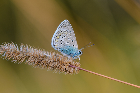 A small butterfly common blue sits on a spikelet of grass