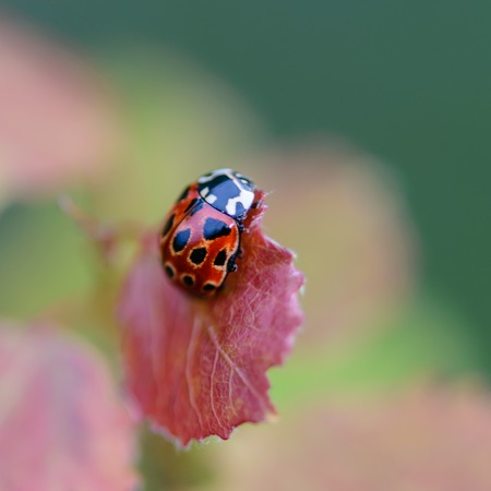 Red beetle of a ladybug sits on a red leaf