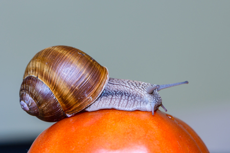 The grape snail crawls into a large red tomato