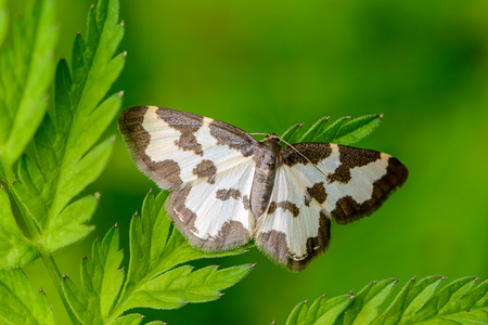 Butterfly lomaspilis marginata with white wings and gray spots sitting on a leaf on a green background Stock Photo