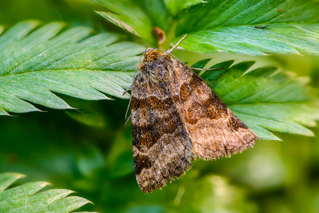 A brown butterfly euclidia glyphica with dark stripes on its wings sits on the carved leaves of grass Stock Photo