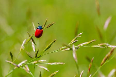 A bright red beetle sits on a thin blade of grass in a field Banco de Imagens