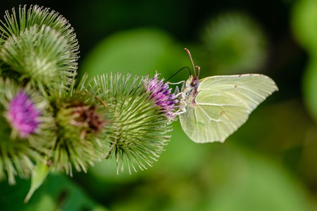 Butterfly of lemongrass gathers nectar from prickly buds of a big burdock