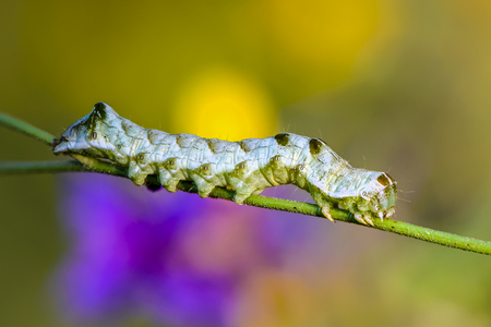 A green caterpillar with a beautiful pattern sits on a grass stalk on a beautiful background