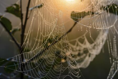 Large cobweb at dawn, which is covered with dew drops 版權商用圖片