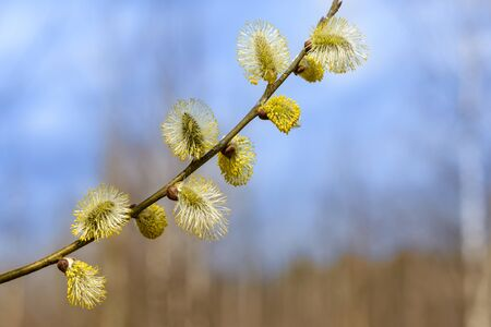 The branch of willow with flower buds in spring Reklamní fotografie