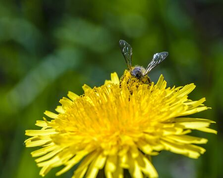 A bee collects nectar on yellow dandelion flowers