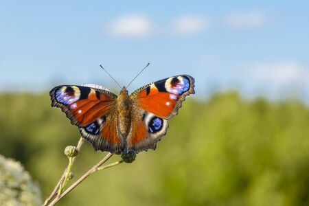 Beautiful butterfly with spots on wings sits on a flower