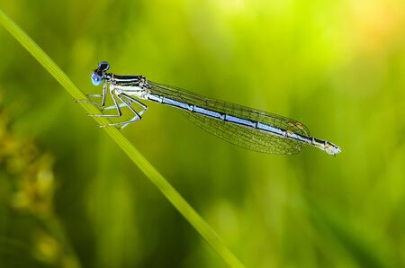 A thin blue dragonfly sits on a narrow leaf of grass Stock Photo