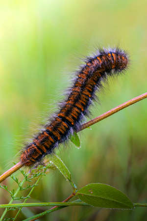 A hairy caterpillar sits on a tree branch in the early morning