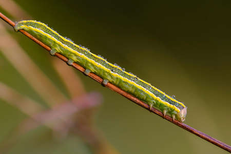 A green caterpillar with yellow stripes sits on a stem of grass