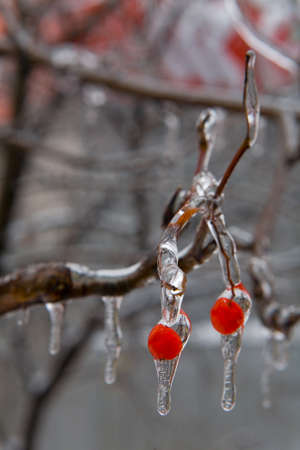 Red berries in beautiful ice drops. After the icy rain. Russia.