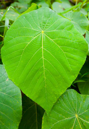Beautiful large leaf of an exotic tropical plant. Flora.