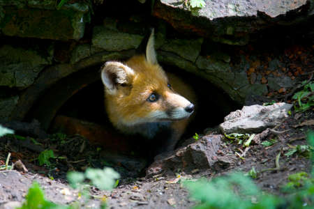 A small, fluffy, redhead fox looks out of hiding.
