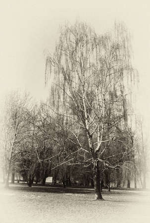 Vertical monochrome landscape with Russian birch. Sepia. Attention! The image contains the graininess of the photographic film!