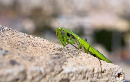 A shy mantis hides his face behind the paw. Macro. Banco de Imagens