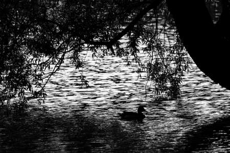 Silhouette of a duck mallard on the water. Black and white.