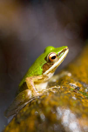 An exotic beautiful green frog is sitting on a stone. Close-up.