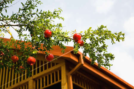 Fruits of red ripe pomegranates on the branch. Georgia. Stock Photo