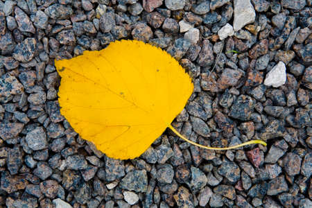 Yellowed birch leaf lies on the stones. Nature.