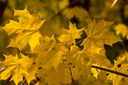 Yellow beautiful maple leaves on a branch. Autumn nature.