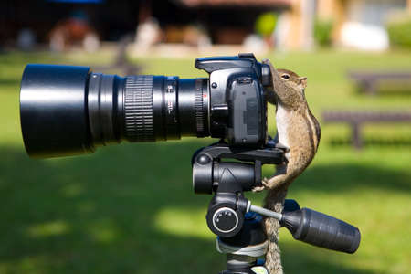 Palm squirrel as a photographer aims at the camera viewfinder. Animals and humor. 写真素材
