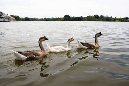 Three geese swim beautifully in the water. Thailand. 写真素材