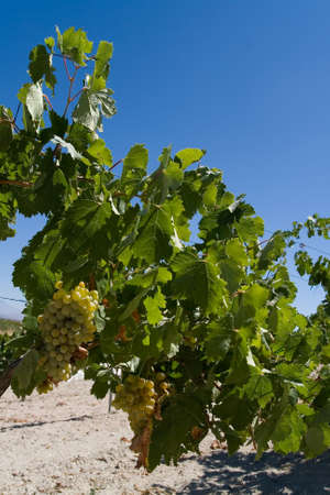 Appetizing ripe vine of white grapes in the open air. Turkey farming.