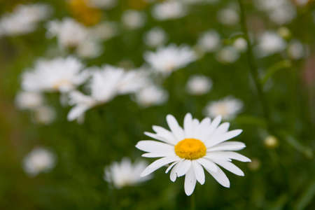 Beautiful blooming chamomile with white petals closeup. Flora.