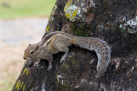 A fluffy palm squirrel sits on a tree. Nature of Sri Lanka. 写真素材