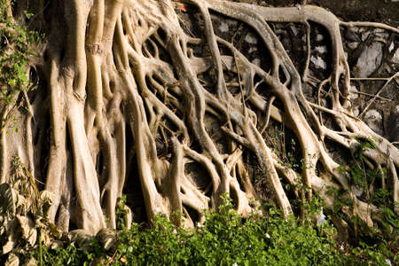 Big beautiful roots of an exotic plant. The nature of Thailand.