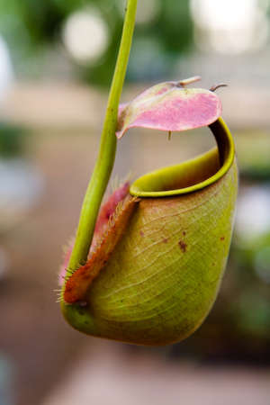 Insectivorous predatory Nepenthes plant pitcher close-up. The tropical nature of Thailand.