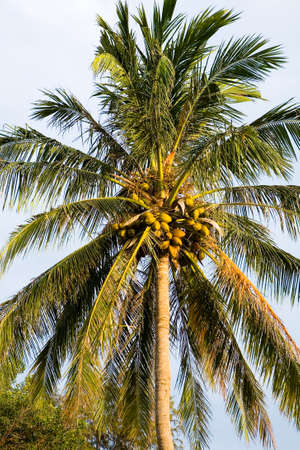 A beautiful tall coconut tree with many fruits. The nature of Thailand. Reklamní fotografie