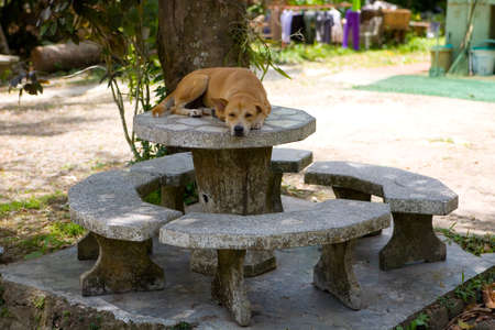A large red dog in a collar sleeps on a stone table. Outdoors. 免版税图像