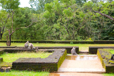 Wild monkeys with a cub among the ancient ruins. Polonnaruwa in Sri Lanka.