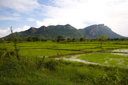 The rice field is covered with water against the backdrop of the mountains. Agriculture Sri Lanka. 免版税图像