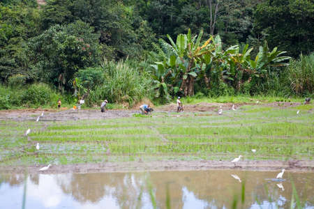 Polonnaruwa, Sri Lanka, December 20, 2015: People work on a rice plantation, there are white herons nearby. 新闻类图片