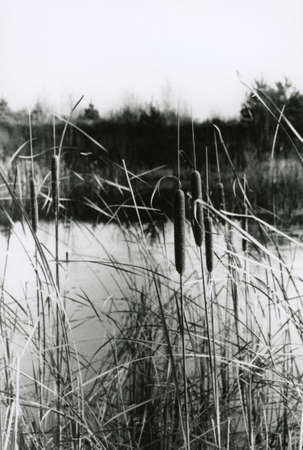 Black and white photo of reeds in a swamp near Moscow in the fall. Attention! Image contains grit and other artifacts of analog photography! 免版税图像